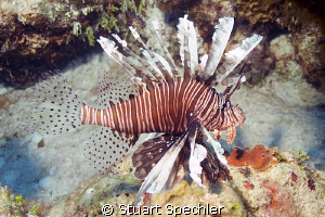 A beautiful invader.  We dived in Turks 3 years ago and d... by Stuart Spechler 